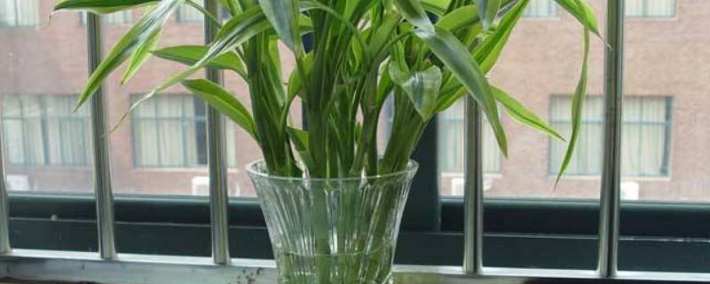 生根粉如何泡富贵竹