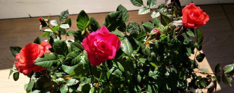 33朵红玫瑰的花语