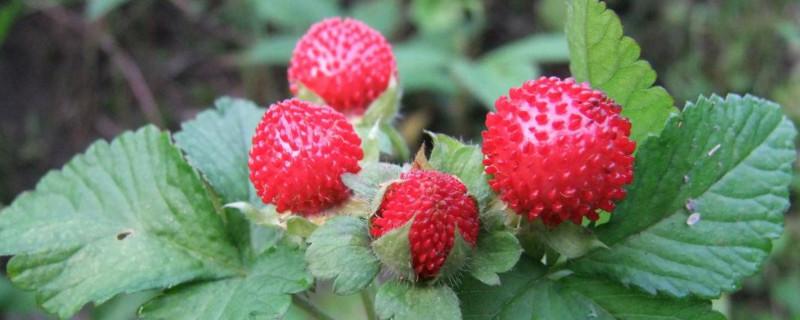 蛇莓怎么吃