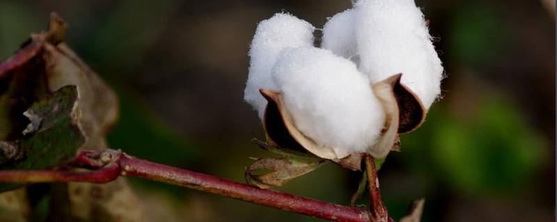 棉花是什么植物