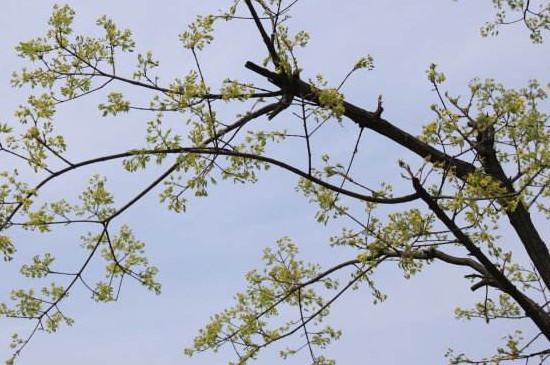 黄玻璃树芽食用方法