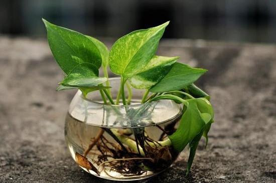 富贵竹的样子_绿萝和吊兰哪个吸甲醛