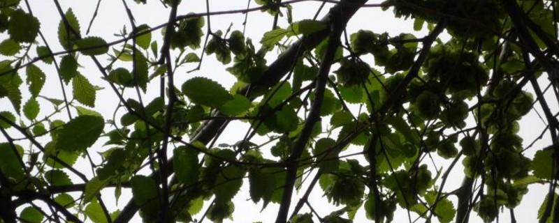 榆树的种类