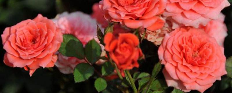 单支玫瑰花包装教程