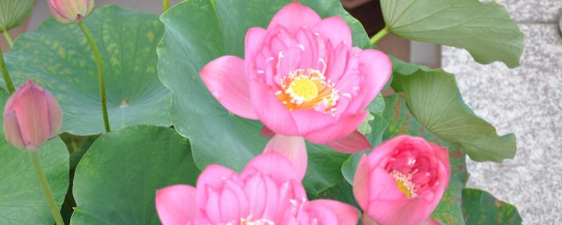 碗莲和菜莲的区别
