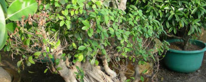 容树盆栽植物怎么养植
