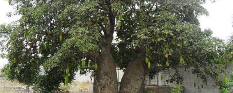 安哥拉紫檀是什么木