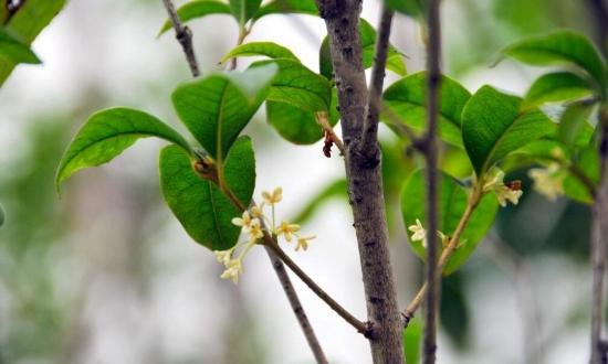 桂花树什么时候施肥好,桂花树上什么肥料好