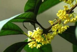 桂花树可以插枝栽培吗,桂花树移栽要注意什么