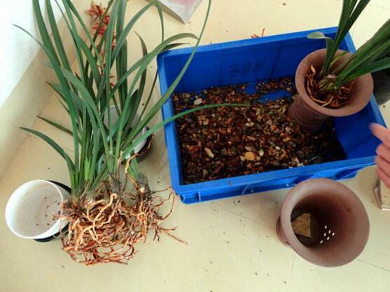 兰花用什么土栽培最好,软植料与硬植料培育最