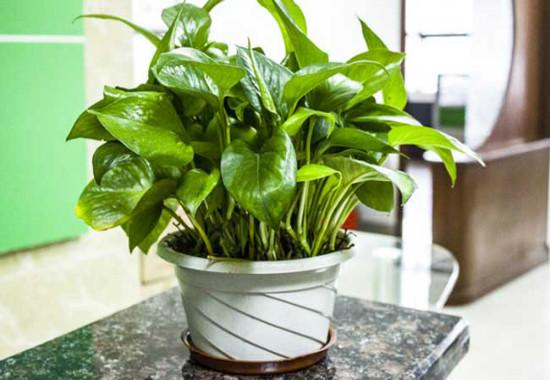 水养绿萝怎么养才茂盛,掌握5个方法完美解决