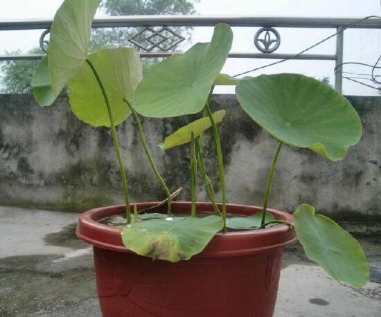 盆栽荷花的种植方法,播种/种藕(种藕存活率比较高)