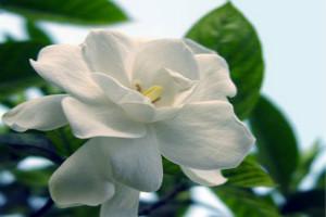 盆栽栀子花的养殖方法和注意事项,6个步骤教你养出美丽的栀子花