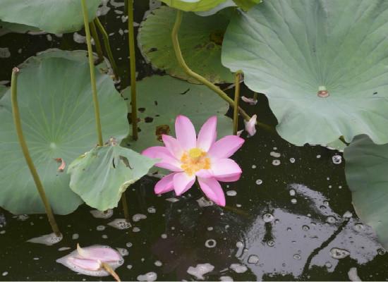 水莲花怎么养,家养水莲花的过程图片