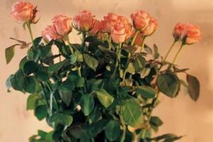 玫瑰花叶子一碰就掉怎么办,四种方法教你如何挽救