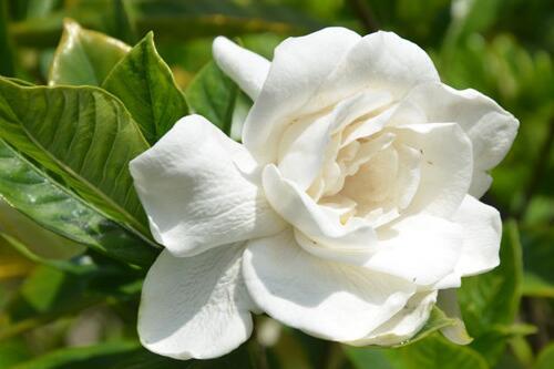 大叶栀子花的养殖方法和注意事项,6个步骤教你养出美丽的大叶栀子花