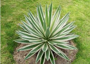 植物科普|剑麻是什么植物
