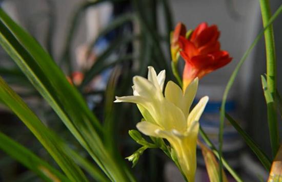 植物科普|香兰是什么植物