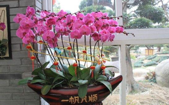 蝴蝶兰抽箭后多久开花,蝴蝶兰抽箭后怎样养护