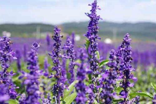 薰衣草怎么种植盆栽,薰衣草的家庭种植方法