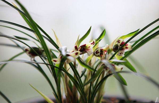 植物与风水|兰花开花有什么寓意