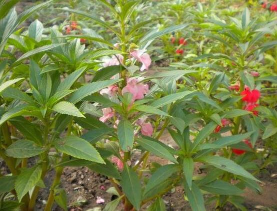 茶花凤仙的养殖方法:适合春天播种的花