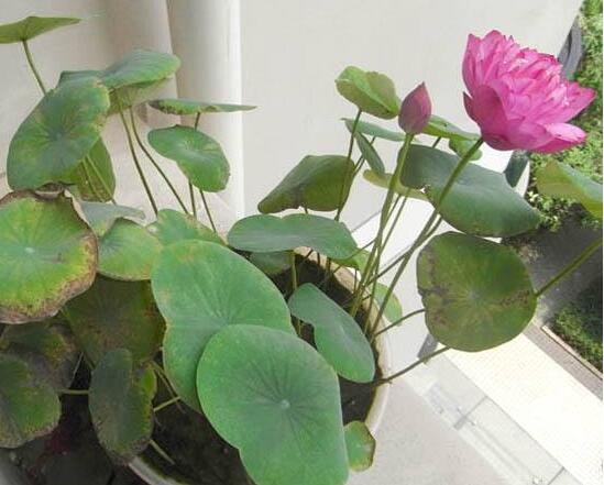 碗莲为什么不开花,五种方法让你的碗莲花开爆盆
