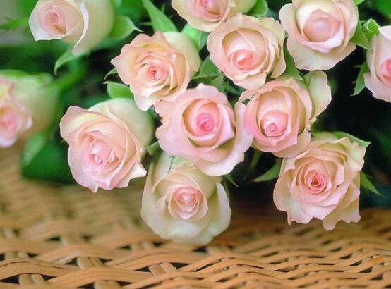 玫瑰花花期怎么延长,适当施肥及时遮阴可延长至一个月