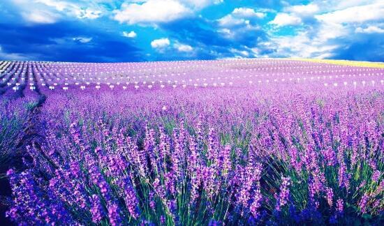 薰衣草什么时候开花,薰衣草花期在6~8月