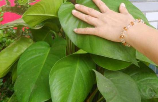 绿萝怎样养才能长成大叶子