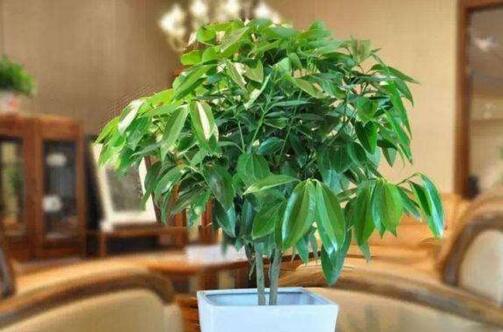 平安树能用淘米水浇吗,可以(发酵后浇水可促进生长)