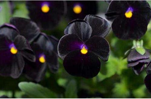 植物趣闻|为什么黑色花卉很少见?