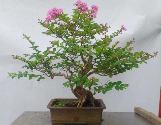 紫薇花盆景怎么造型,合理修剪打造绝美紫薇盆景