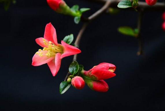 海棠花为什么叫断肠花,海棠花为什么没有香味