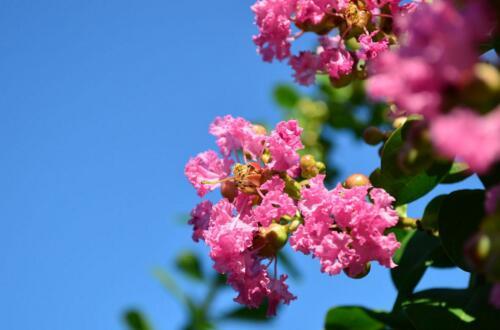 紫薇花有哪些品种,紫薇/赤薇/银薇/翠薇