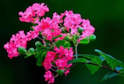 紫薇花怎么施肥,八种方法让紫薇花开的更绚丽