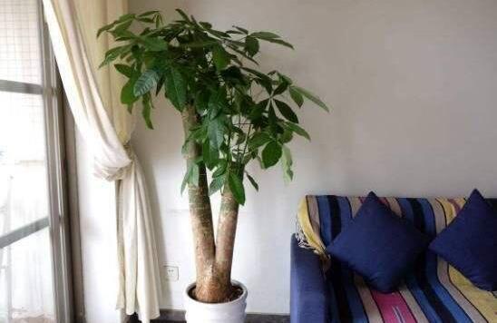 发财树开花什么寓意,是有着财源广进的好兆头