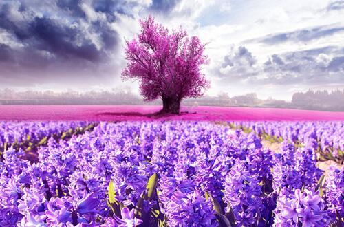 薰衣草的花语是什么,盘点不同颜色薰衣草花语
