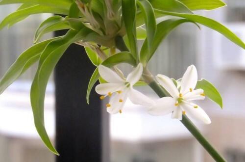 吊蘭開花有什么兆頭,預兆堅持希望好運即將到來