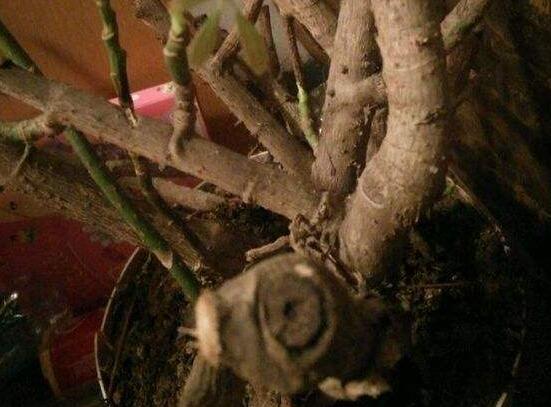 鹅掌木怎么修剪,只需两步让你的鹅掌木茁壮又好看