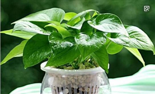 绿萝用什么土比较好养,教你绿萝土壤如何配置
