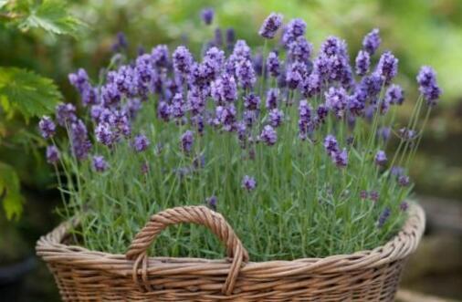 熏衣草几月份开花,薰衣草几月份开的最好(7月最好)