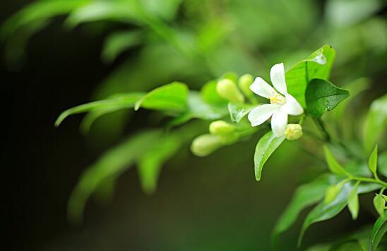 七里香怎么繁殖,播种扦插压条三种方法皆可