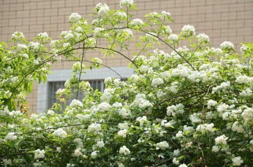 七里香什么时候开花,七里香花期在5~8月