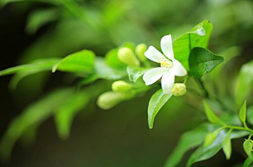 七里香怎么施肥,4种施肥方法让七里香花开更艳丽