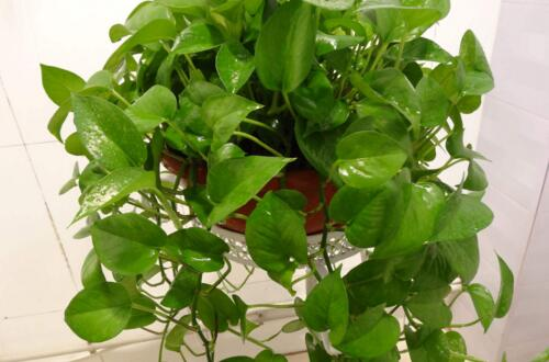 绿萝怎么养才能有藤蔓,需定型修剪藤蔓才能疯长爬墙