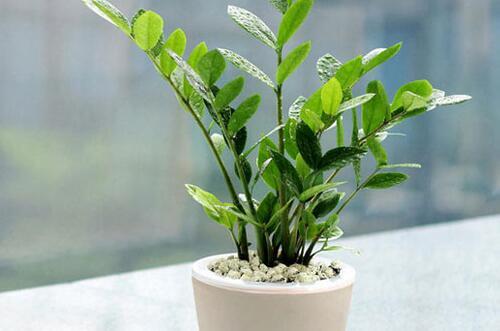 风水中最招财的植物,养盆金钱树财源滚滚还旺运