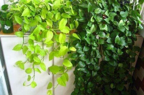 绿萝怎么养才能有垂叶,选对品种合理培植(附养护方法)