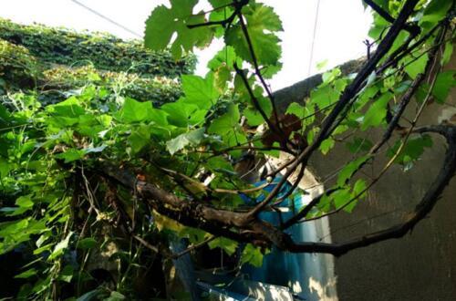 为什么家里不能种葡萄,为什么家里忌讳种葡萄
