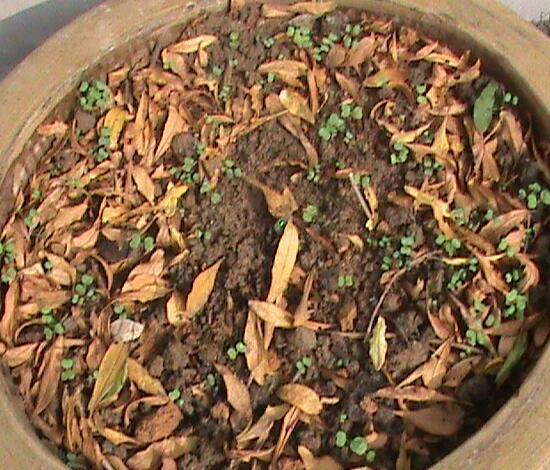 三角梅一年能开几次花,三角梅的养植方法和注意事项